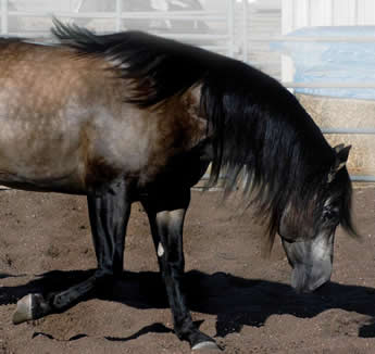 Hollywood Dunit Good Buckskin Stallion Standing at Ackermans Performance Horses